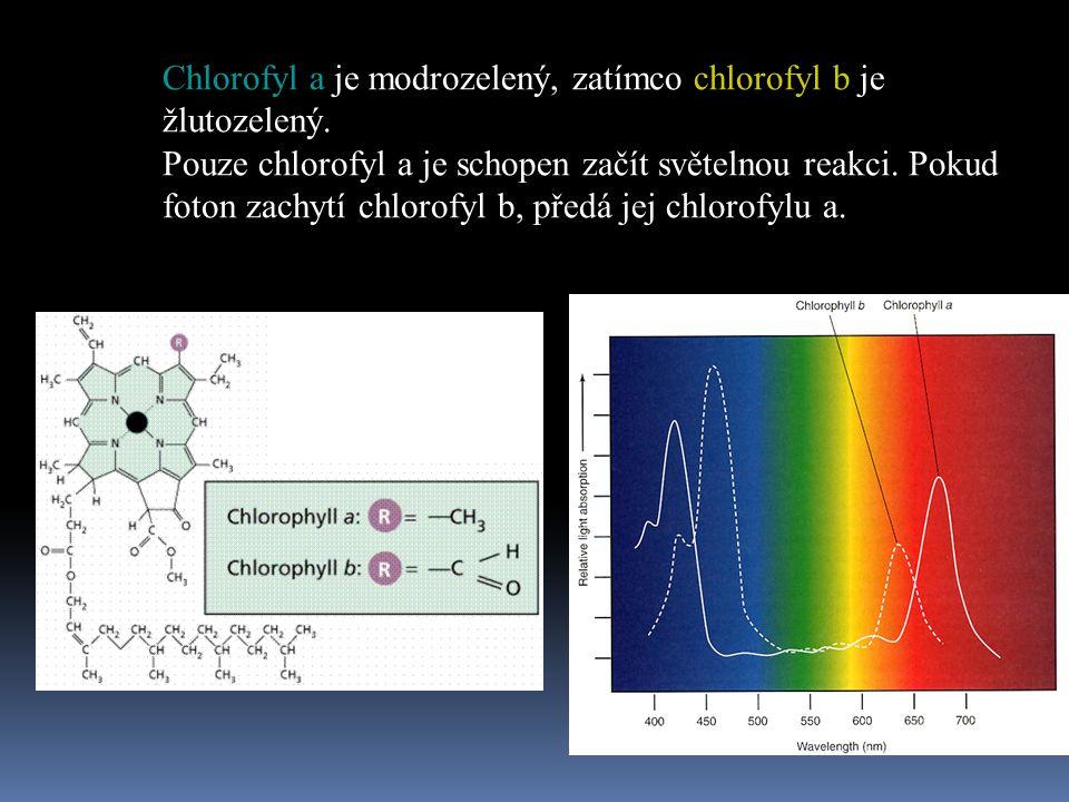 Chlorofyl a je modrozelený, zatímco chlorofyl b je žlutozelený.