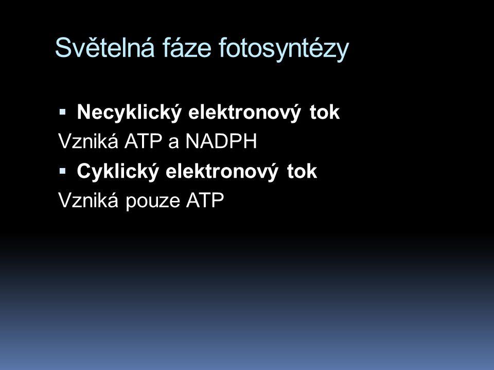 Světelná fáze fotosyntézy  Necyklický elektronový tok Vzniká ATP a NADPH  Cyklický elektronový tok Vzniká pouze ATP