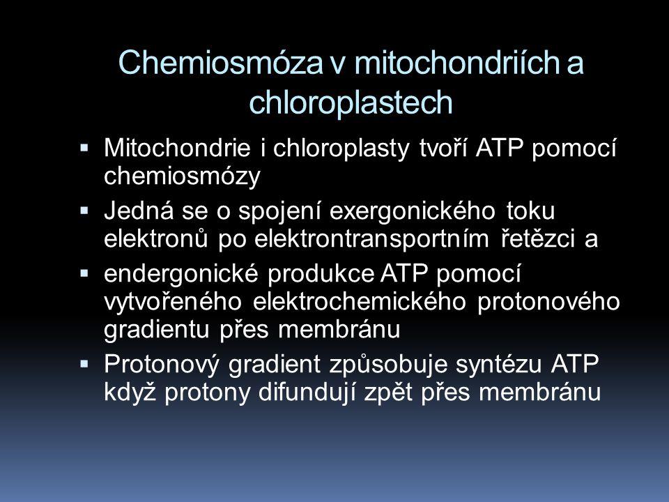 Chemiosmóza v mitochondriích a chloroplastech  Mitochondrie i chloroplasty tvoří ATP pomocí chemiosmózy  Jedná se o spojení exergonického toku elektronů po elektrontransportním řetězci a  endergonické produkce ATP pomocí vytvořeného elektrochemického protonového gradientu přes membránu  Protonový gradient způsobuje syntézu ATP když protony difundují zpět přes membránu