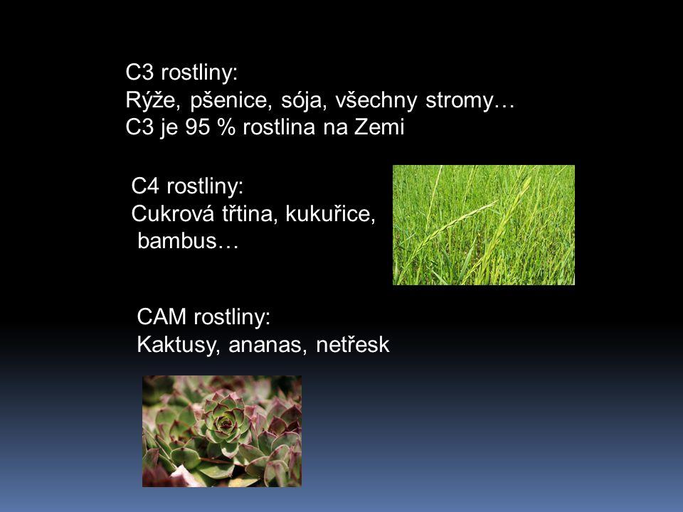 C3 rostliny: Rýže, pšenice, sója, všechny stromy… C3 je 95 % rostlina na Zemi C4 rostliny: Cukrová třtina, kukuřice, bambus… CAM rostliny: Kaktusy, ananas, netřesk