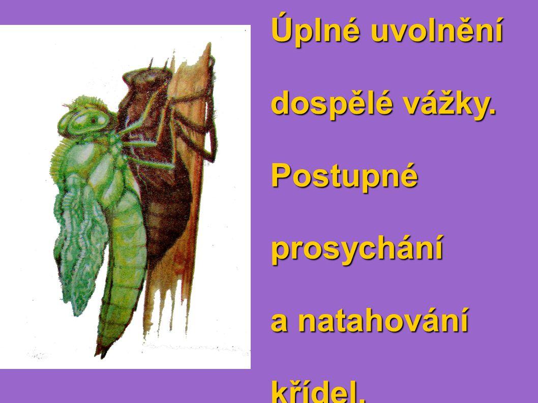 Úplné uvolnění dospělé vážky. Postupnéprosychání a natahování křídel.