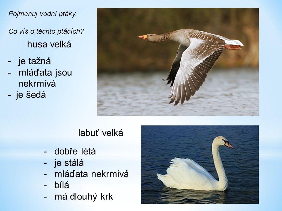 husa velká labuť velká Pojmenuj vodní ptáky. Co víš o těchto ptácích? -je tažná -mláďata jsou nekrmivá - je šedá -dobře létá -je stálá -mláďata nekrmi