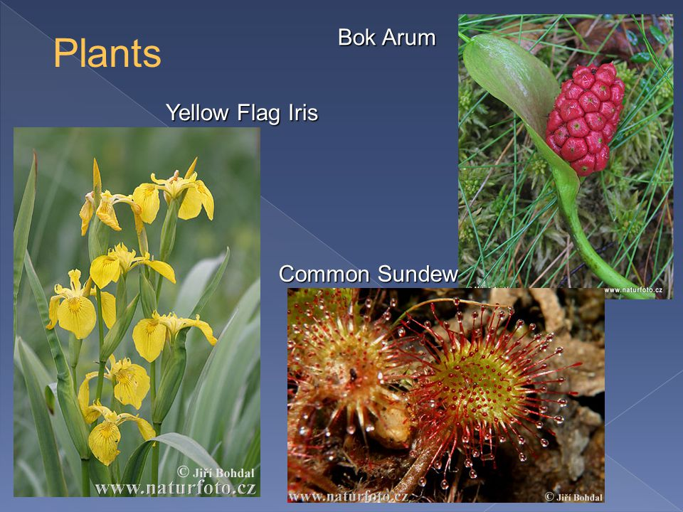 Common Sundew Bok Arum Yellow Flag Iris