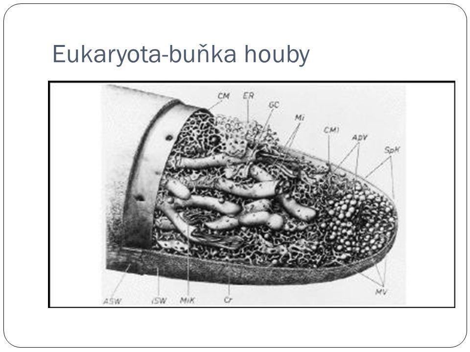 Eukaryota-buňka houby