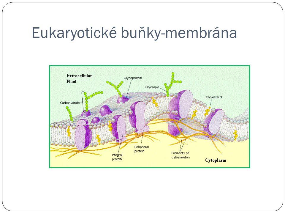 Eukaryotické buňky-membrána