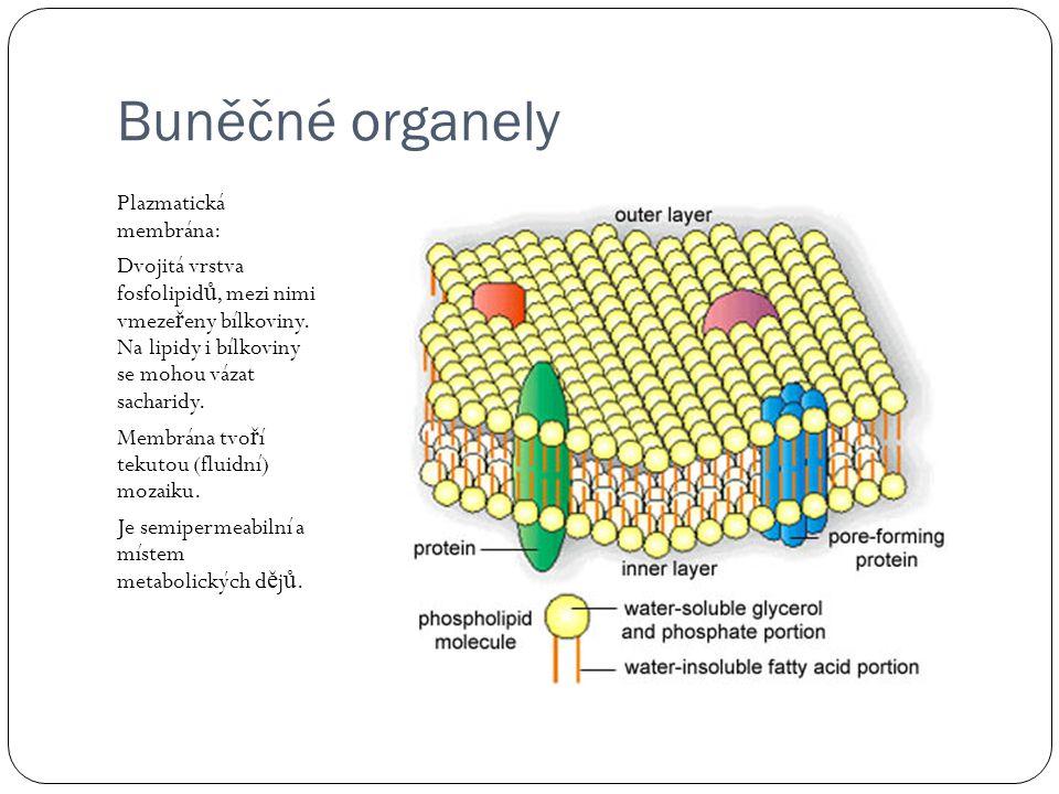 Buněčné organely Plazmatická membrána: Dvojitá vrstva fosfolipid ů, mezi nimi vmeze ř eny bílkoviny.