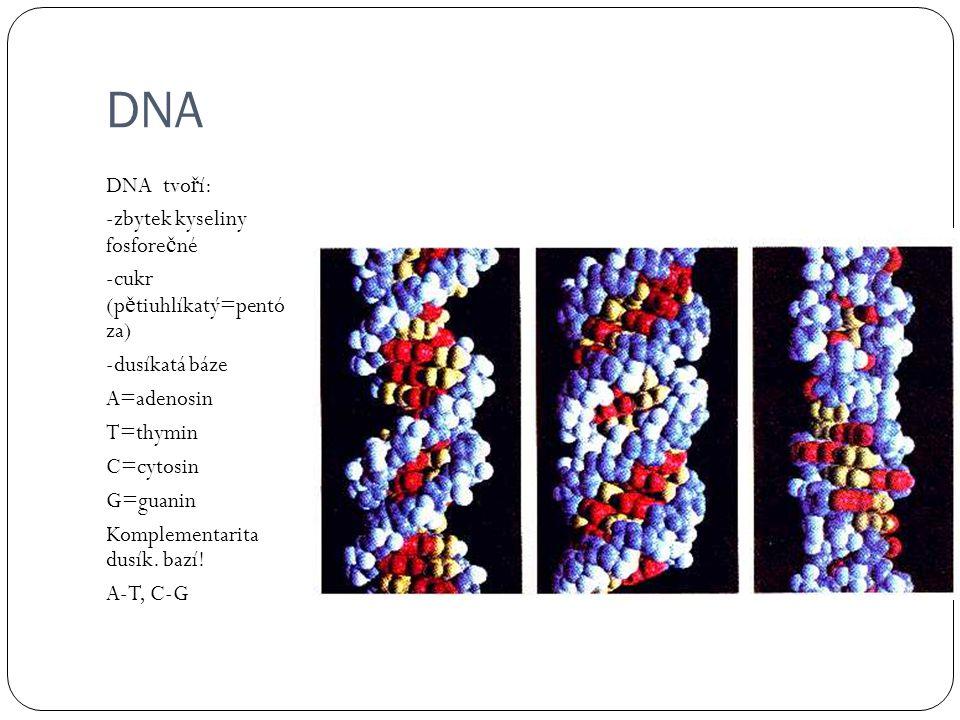 DNA DNA tvo ř í: -zbytek kyseliny fosfore č né -cukr (p ě tiuhlíkatý=pentó za) -dusíkatá báze A=adenosin T=thymin C=cytosin G=guanin Komplementarita dusík.