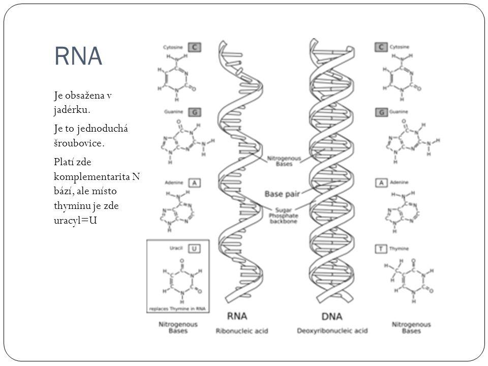RNA Je obsažena v jadérku.Je to jednoduchá šroubovice.