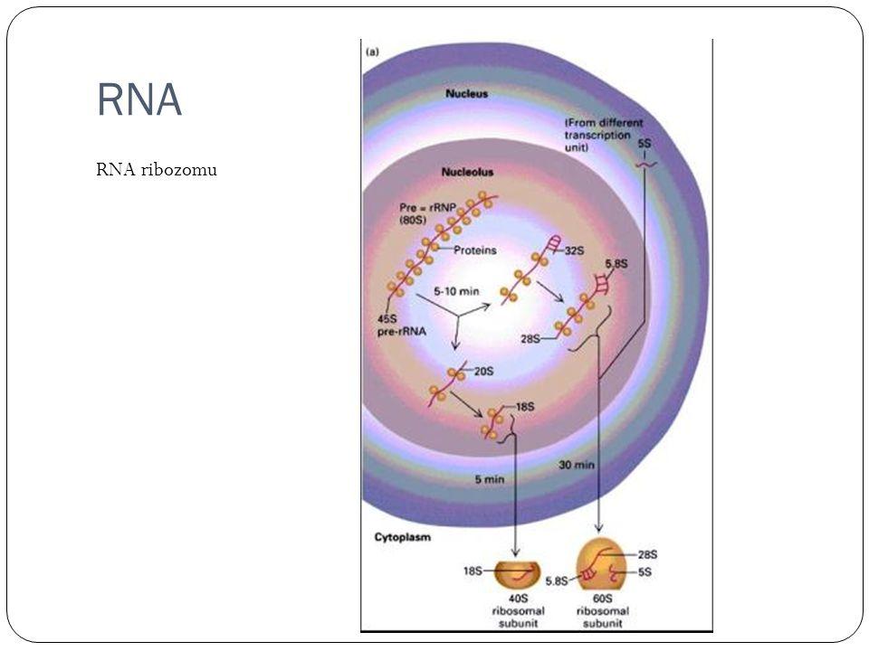 RNA RNA ribozomu
