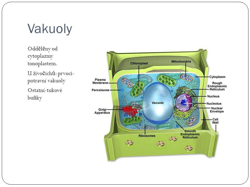 Vakuoly Odd ě l ě ny od cytoplazmy tonoplastem.