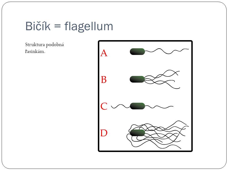 Bičík = flagellum Struktura podobná ř asinkám.