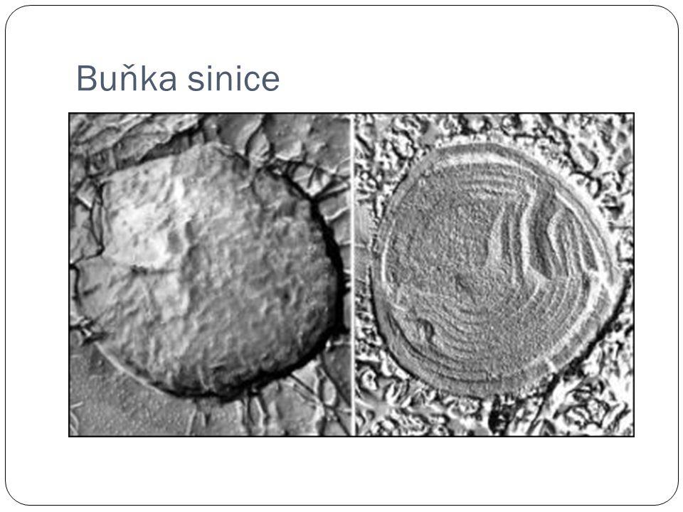 Mitochondrie Semiautonomní organely (obsahují vlastní DNA).