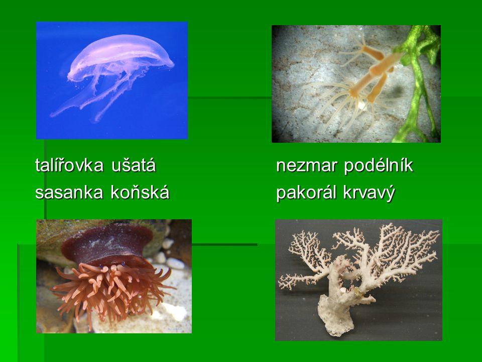 žebernatka žebernatka medúzka sladkovodní