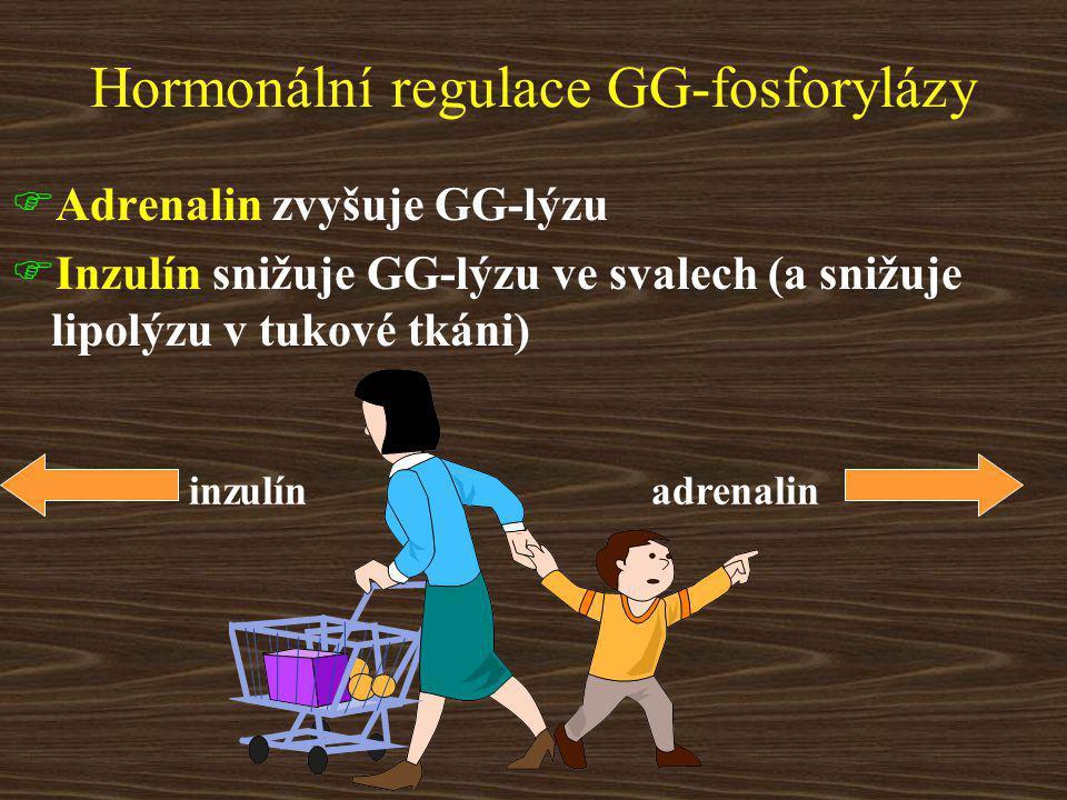 Hormonální regulace GG-fosforylázy  Adrenalin zvyšuje GG-lýzu  Inzulín snižuje GG-lýzu ve svalech (a snižuje lipolýzu v tukové tkáni) adrenalininzulín