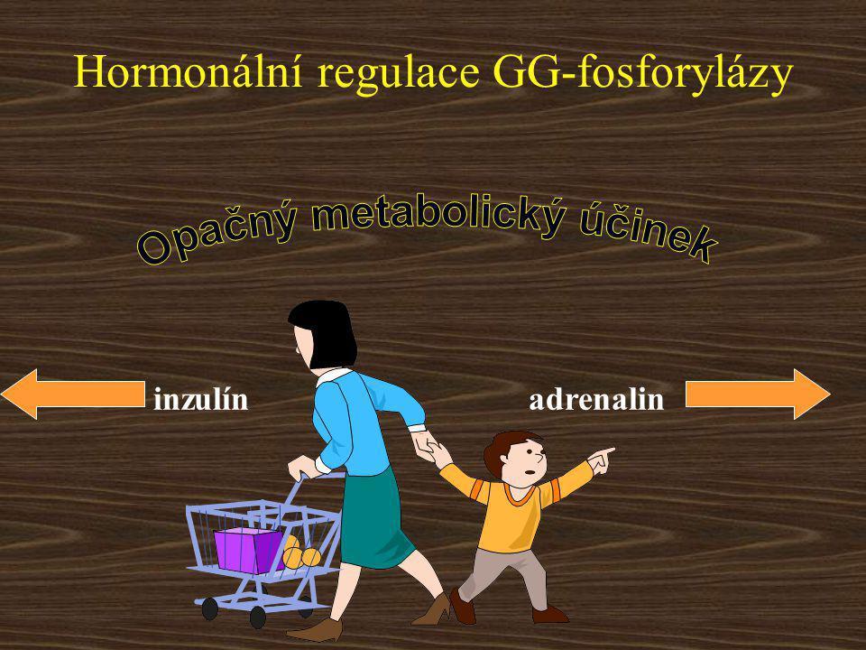 Hormonální regulace GG-fosforylázy adrenalininzulín