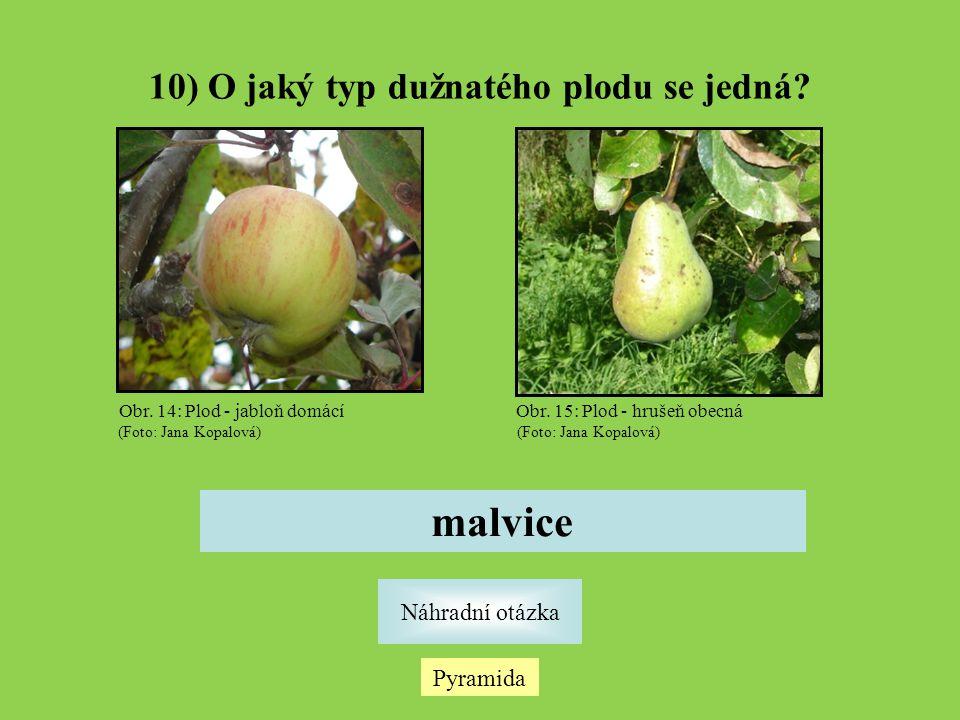 Pyramida Náhradní otázka 10) O jaký typ dužnatého plodu se jedná? malvice Obr. 14: Plod - jabloň domácí (Foto: Jana Kopalová) Obr. 15: Plod - hrušeň o