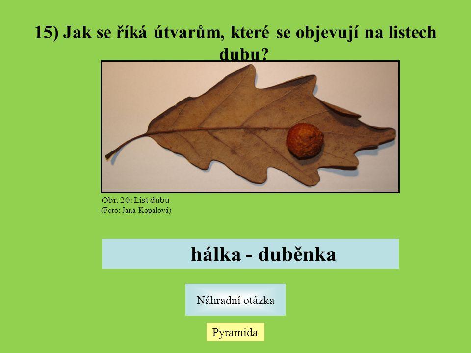 Pyramida Náhradní otázka 15) Jak se říká útvarům, které se objevují na listech dubu? hálka - duběnka Obr. 20: List dubu (Foto: Jana Kopalová)