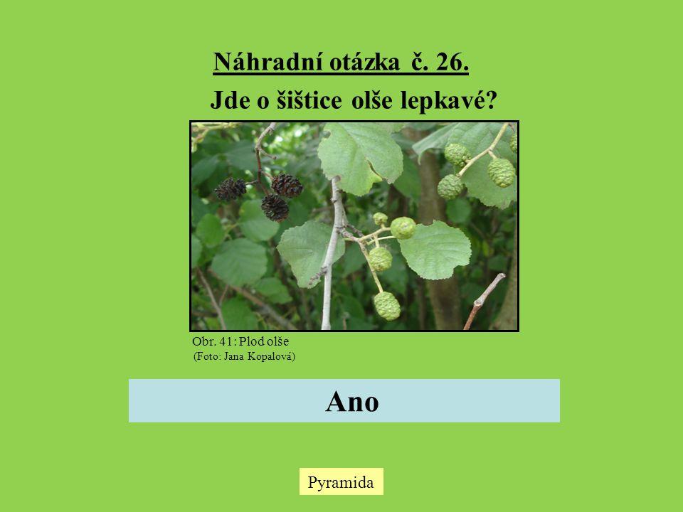 Náhradní otázka č. 26. Jde o šištice olše lepkavé? Ano Pyramida Obr. 41: Plod olše (Foto: Jana Kopalová)