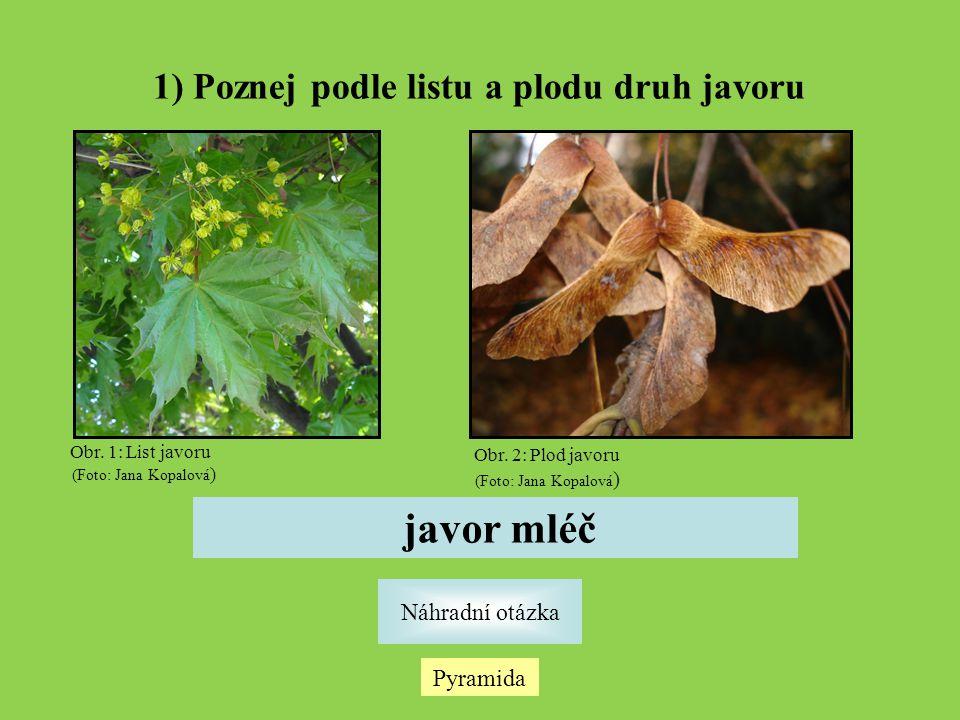 1) Poznej podle listu a plodu druh javoru Náhradní otázka Pyramida javor mléč Obr. 1: List javoru (Foto: Jana Kopalová ) Obr. 2: Plod javoru (Foto: Ja