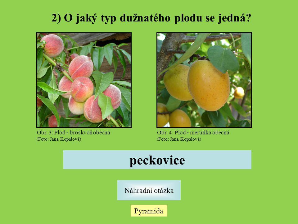 2) O jaký typ dužnatého plodu se jedná? Pyramida Náhradní otázka peckovice Obr. 3: Plod - broskvoň obecná (Foto: Jana Kopalová) Obr. 4: Plod - meruňka