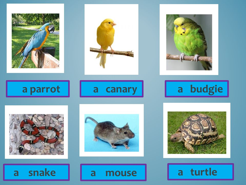 a canary a mouse a parrot a budgie a snake a turtle