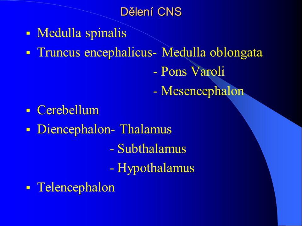 Dělení CNS  Medulla spinalis  Truncus encephalicus- Medulla oblongata - Pons Varoli - Mesencephalon  Cerebellum  Diencephalon- Thalamus - Subthala