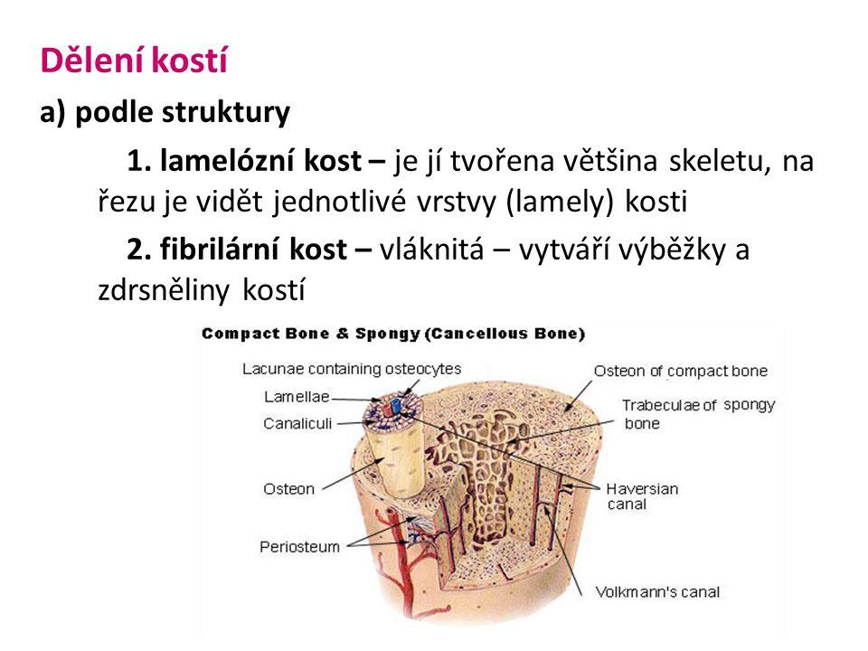 Dělení kostí a) podle struktury 1. lamelózní kost – je jí tvořena většina skeletu, na řezu je vidět jednotlivé vrstvy (lamely) kosti 2. fibrilární kos
