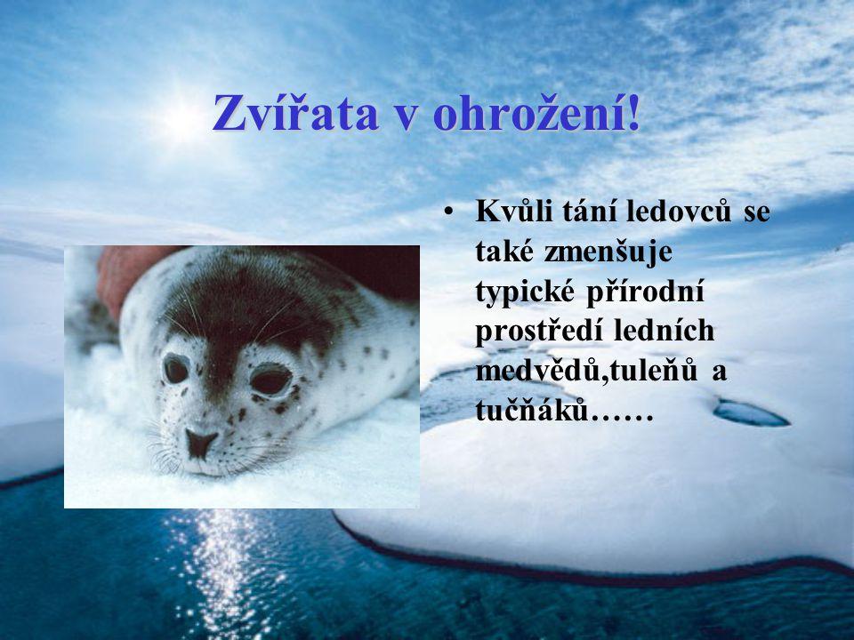 Zvířata v ohrožení! Kvůli tání ledovců se také zmenšuje typické přírodní prostředí ledních medvědů,tuleňů a tučňáků……