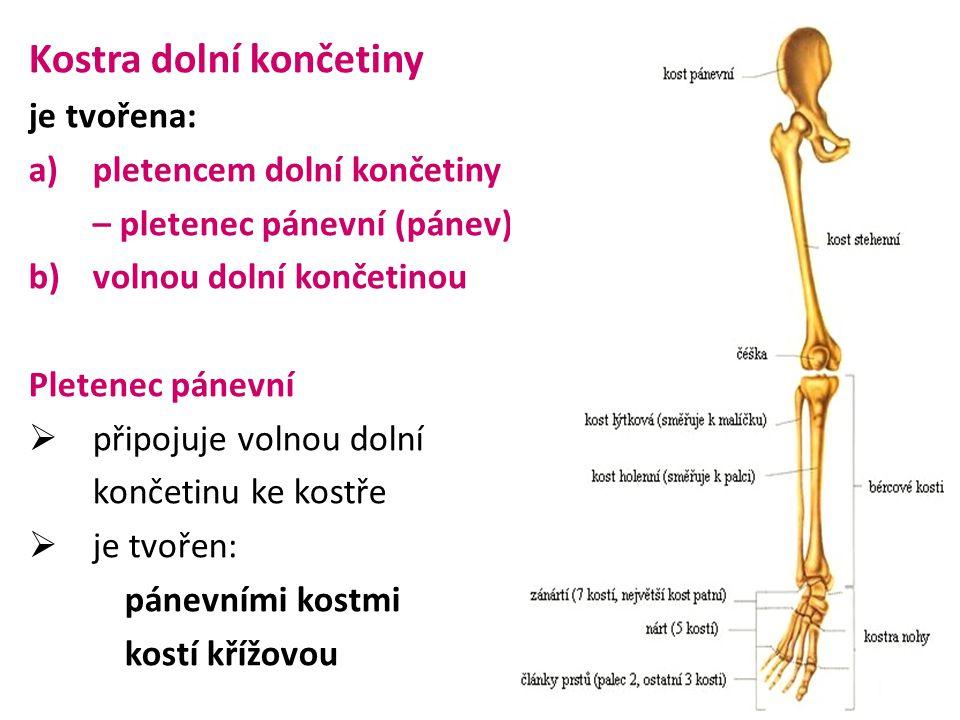 Volná dolní končetina  je tvořenakyčelním kloubem kostí stehenní čéškou kloubem kolenním kostrou bérce– kost holení – kost lýtková kloub hlezenní kosti nohy – kosti zánártní – kosti nártní – články prstů