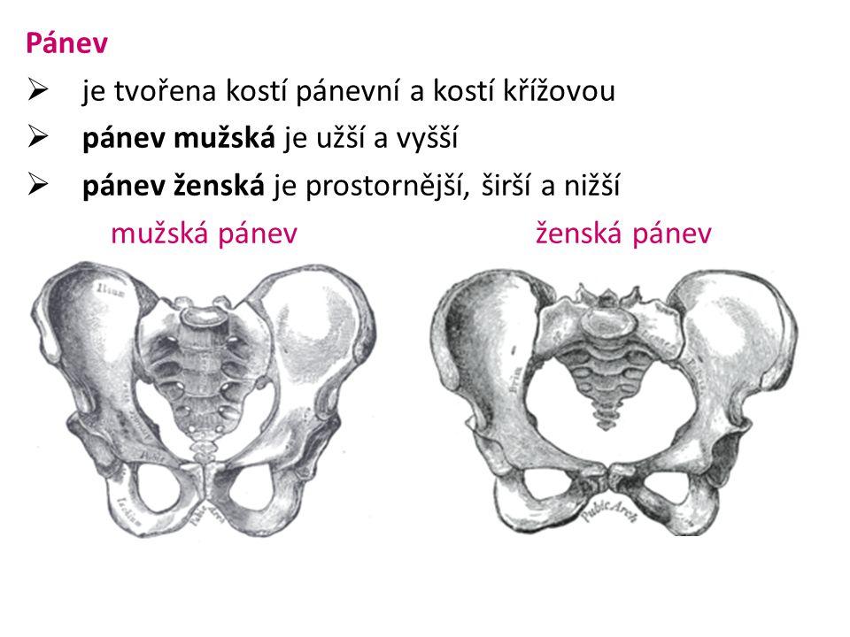 Pánev  je tvořena kostí pánevní a kostí křížovou kost pánevní  vzniká srůstem tří kostí kost kyčelní kost stydká kost sedací