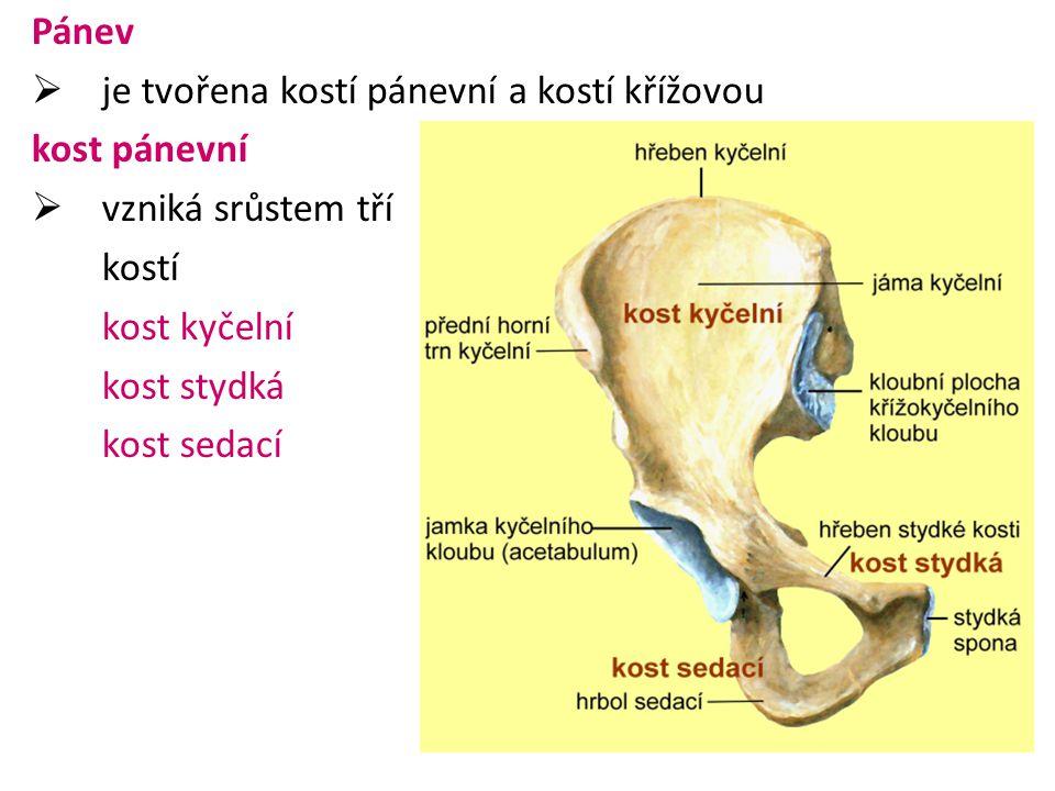 kost kyčelní  vyznačuje se velkou lopatou, v horní části je hřeben  v přední části je hrbol (trn)  ve spodní části je jamka kyčelního kloubu kost sedací  vyznačuje se výrazným sedacím hrbolem, na něj se upínají zadní svaly stehenní kost stydká  začínají v jamce kyčelního kloubu  obě stydké kosti se spojují v místě spony stydké pomocí chrupavky