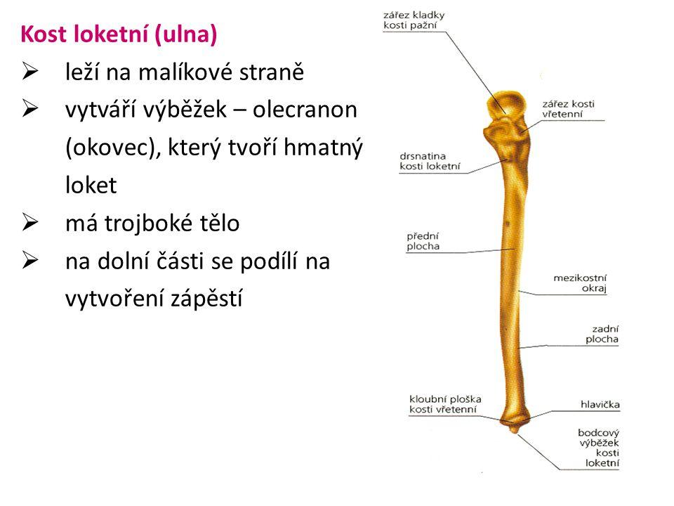 Kost loketní (ulna)  leží na malíkové straně  vytváří výběžek – olecranon (okovec), který tvoří hmatný loket  má trojboké tělo  na dolní části se podílí na vytvoření zápěstí