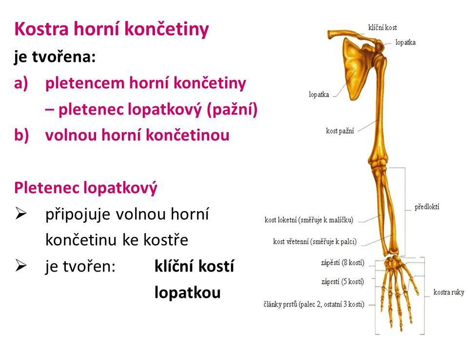 je tvořena: a)pletencem horní končetiny – pletenec lopatkový (pažní) b)volnou horní končetinou Pletenec lopatkový  připojuje volnou horní končetinu ke kostře  je tvořen:klíční kostí lopatkou