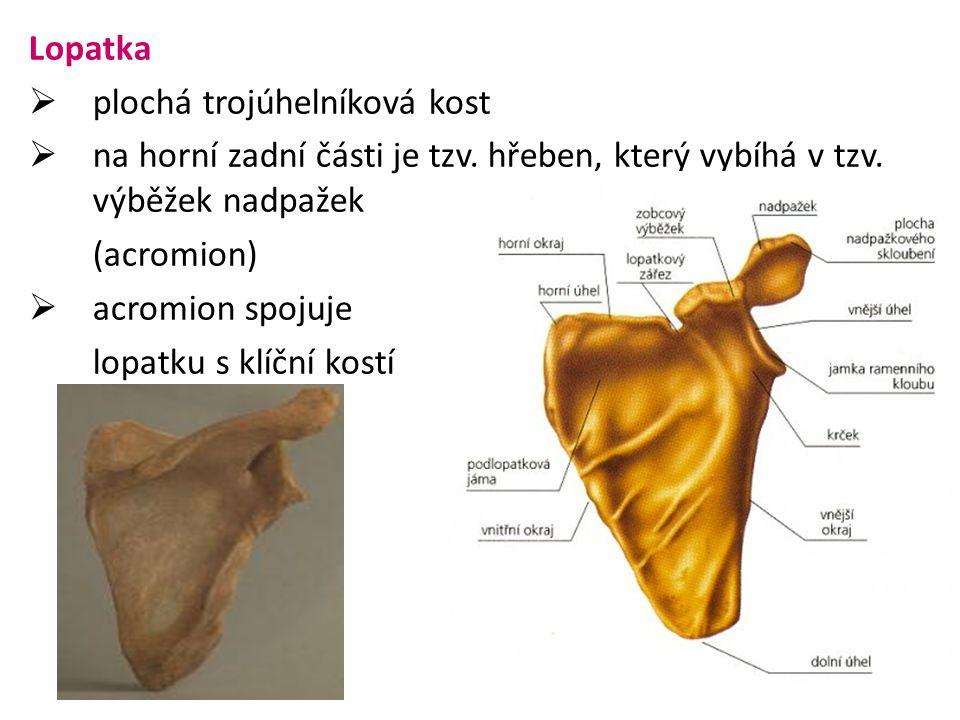 Lopatka  plochá trojúhelníková kost  na horní zadní části je tzv. hřeben, který vybíhá v tzv. výběžek nadpažek (acromion)  acromion spojuje lopatku