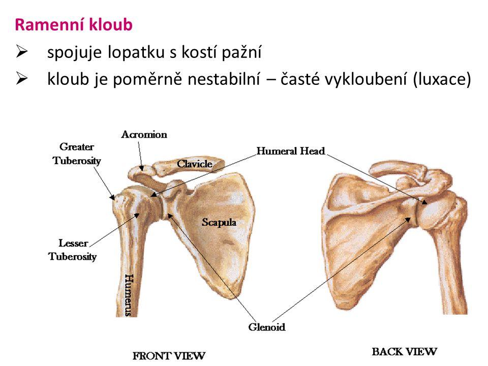 Ramenní kloub  spojuje lopatku s kostí pažní  kloub je poměrně nestabilní – časté vykloubení (luxace)