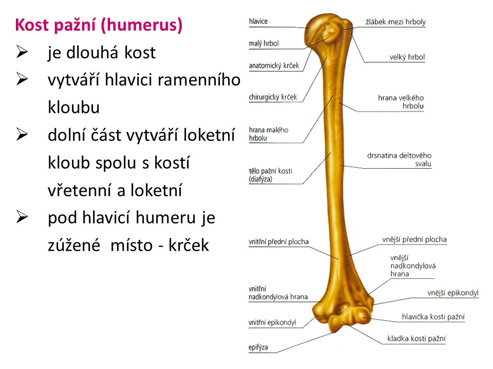 Kost pažní (humerus)  je dlouhá kost  vytváří hlavici ramenního kloubu  dolní část vytváří loketní kloub spolu s kostí vřetenní a loketní  pod hla