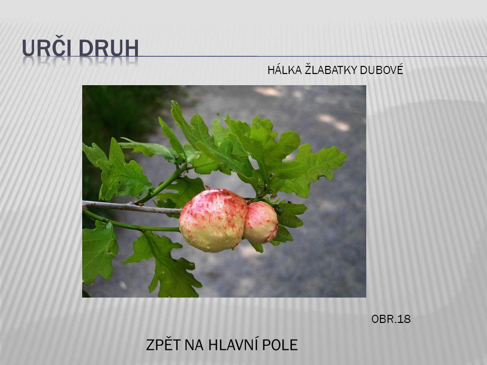 OBR.18 ZPĚT NA HLAVNÍ POLE HÁLKA ŽLABATKY DUBOVÉ