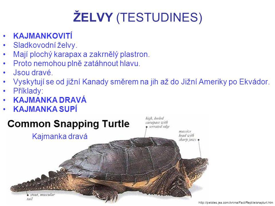 ŽELVY (TESTUDINES) KAJMANKOVITÍ Sladkovodní želvy. Mají plochý karapax a zakrnělý plastron. Proto nemohou plně zatáhnout hlavu. Jsou dravé. Vyskytují