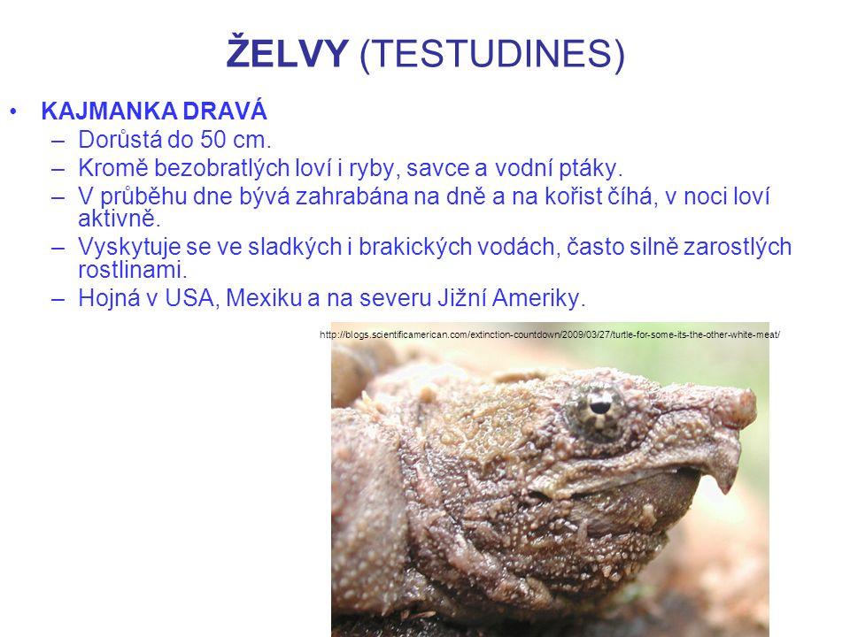 ŽELVY (TESTUDINES) KAJMANKA SUPÍ –Dosahuje velikosti až 80 cm.