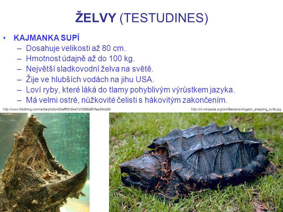 ŽELVY (TESTUDINES) KAJMANKA SUPÍ –Dosahuje velikosti až 80 cm. –Hmotnost údajně až do 100 kg. –Největší sladkovodní želva na světě. –Žije ve hlubších