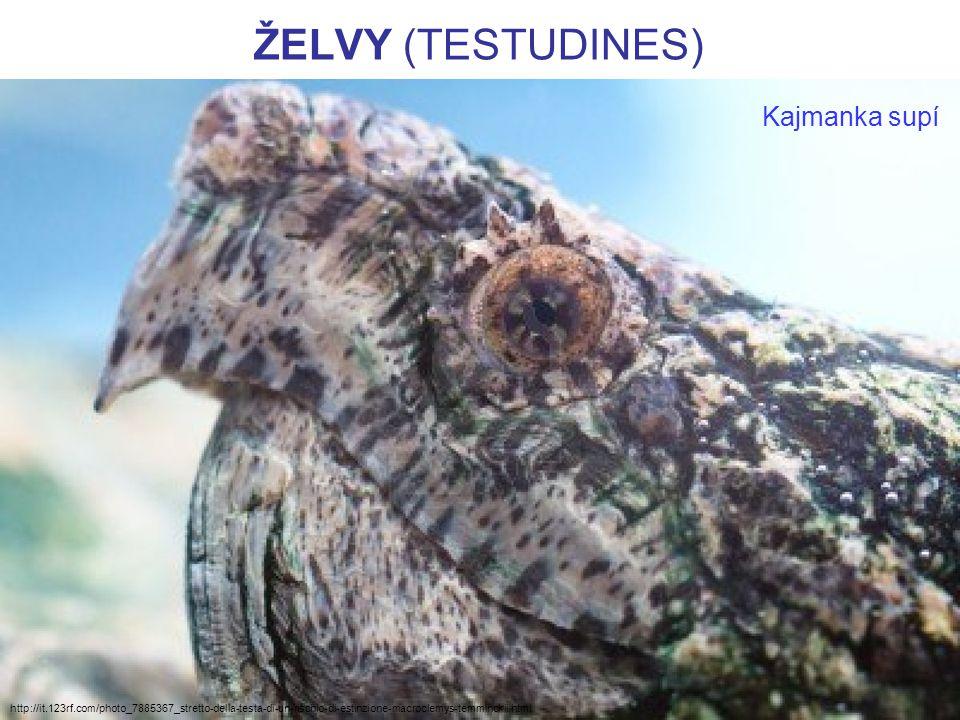 ŽELVY (TESTUDINES) http://www.youtube.com/watch?v=TjNcihL3vT8 Krmení kajmanky dravé v akváriu:
