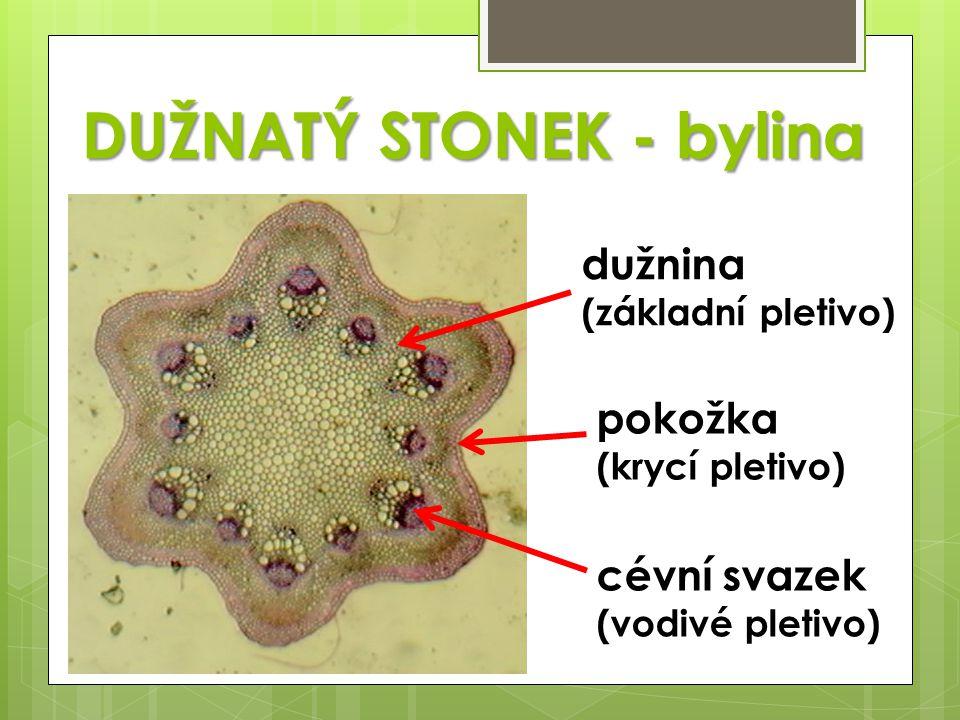 DUŽNATÝ STONEK - bylina dužnina (základní pletivo) pokožka (krycí pletivo) cévní svazek (vodivé pletivo)