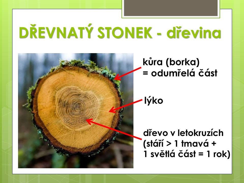 DŘEVNATÝ STONEK - dřevina kůra (borka) = odumřelá část lýko dřevo v letokruzích (stáří > 1 tmavá + 1 světlá část = 1 rok)