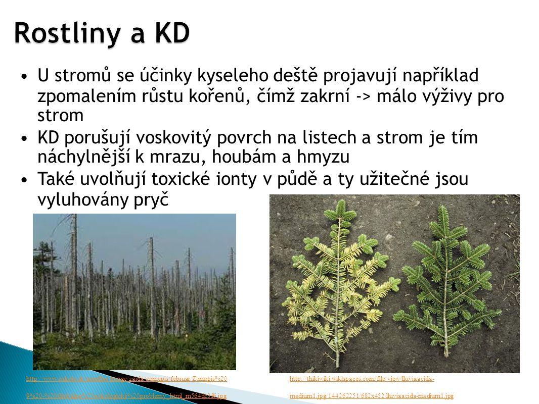 U stromů se účinky kyseleho deště projavují například zpomalením růstu kořenů, čímž zakrní -> málo výživy pro strom KD porušují voskovitý povrch na listech a strom je tím náchylnější k mrazu, houbám a hmyzu Také uvolňují toxické ionty v půdě a ty užitečné jsou vyluhovány pryč http://www.oskole.sk/userfiles/image/zaida/zemepis/februar/Zemepis%20 9%20-%20Globálne%20eokologické%20problémy_html_m564dc3f6.jpg http://thikiwiki.wikispaces.com/file/view/lluviaacida- medium1.jpg/144262251/682x452/lluviaacida-medium1.jpg