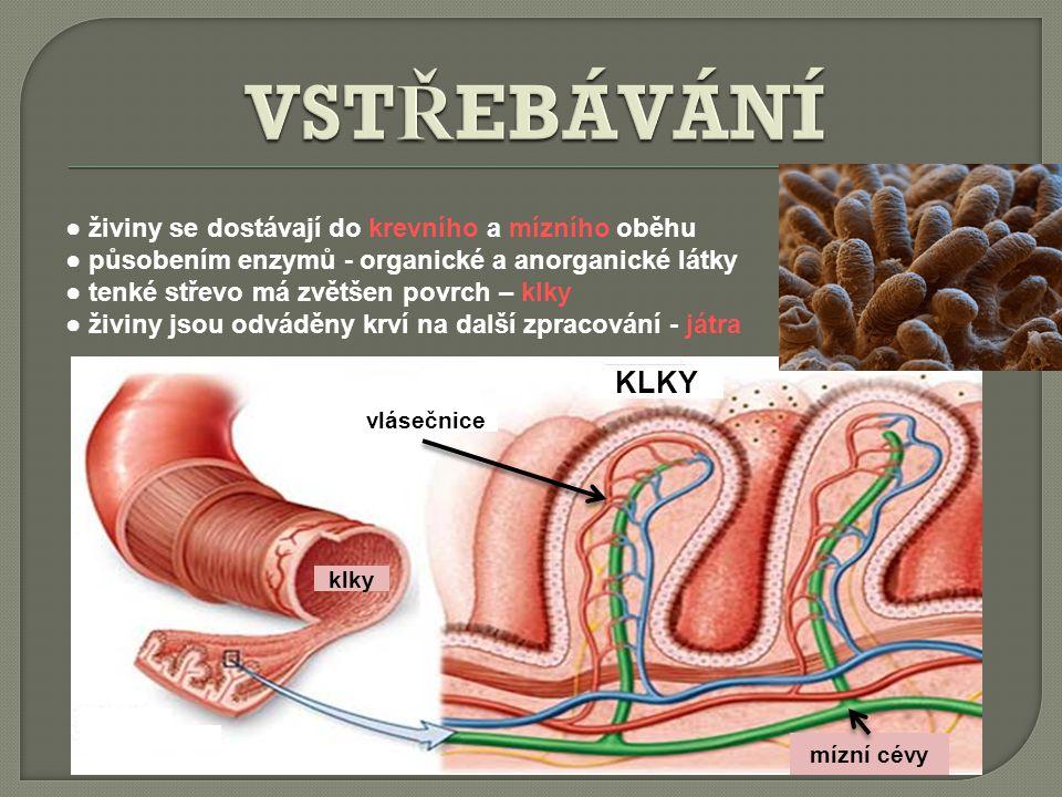 KLKY mízní cévy vlásečnice klky ● živiny se dostávají do krevního a mízního oběhu ● působením enzymů - organické a anorganické látky ● tenké střevo má zvětšen povrch – klky ● živiny jsou odváděny krví na další zpracování - játra