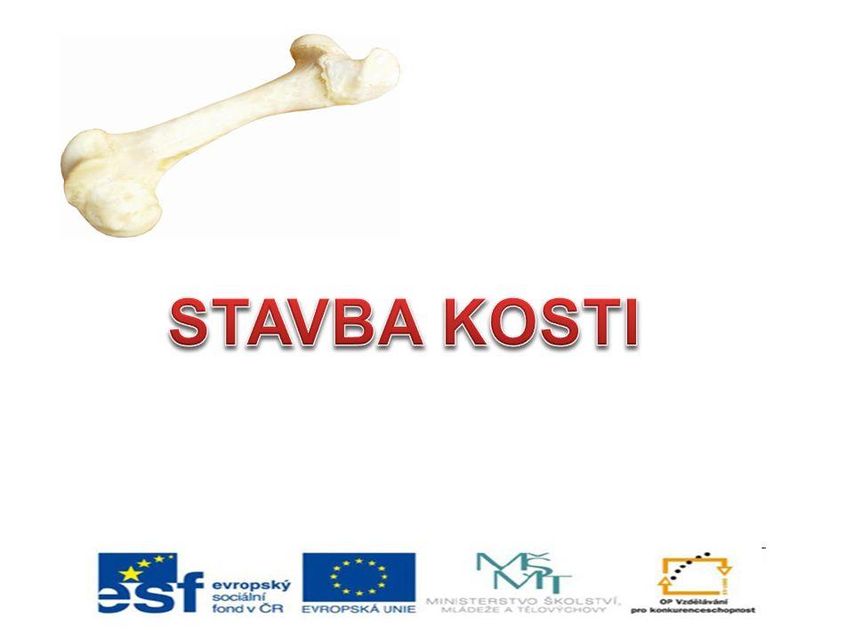 1.Kosti dlouhé: kost klíční, pažní, loketní, vřetenní, stehenní, holenní a lýtková 2.