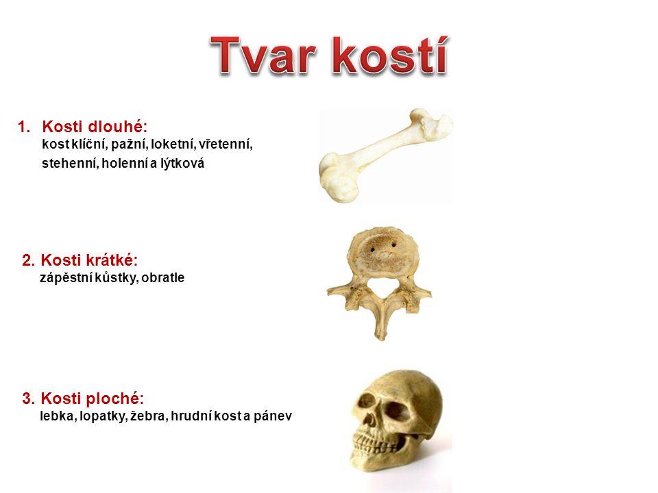 1.Kosti dlouhé: kost klíční, pažní, loketní, vřetenní, stehenní, holenní a lýtková 2. Kosti krátké: zápěstní kůstky, obratle 3. Kosti ploché: lebka, l