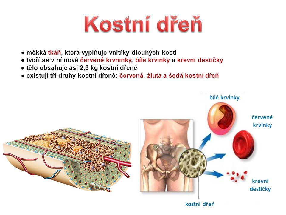 ● měkká tkáň, která vyplňuje vnitřky dlouhých kostí ● tvoří se v ní nové červené krvninky, bíle krvinky a krevní destičky ● tělo obsahuje asi 2,6 kg kostní dřeně ● existují tři druhy kostní dřeně: červená, žlutá a šedá kostní dřeň bílé krvinky červené krvinky krevní destičky kostní dřeň