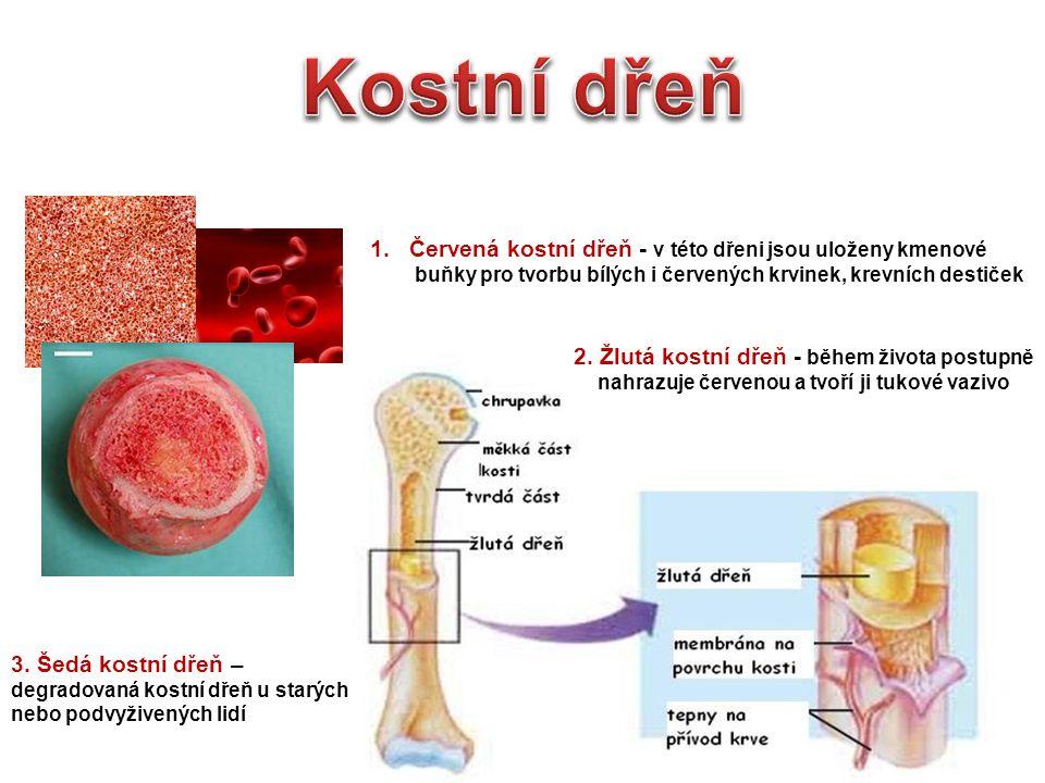 1.Červená kostní dřeň - v této dřeni jsou uloženy kmenové buňky pro tvorbu bílých i červených krvinek, krevních destiček 2. Žlutá kostní dřeň - během