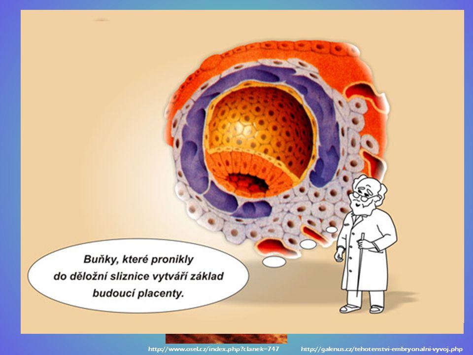 pronikne jen hlavička s jádrem (s dědičnou hmotou), bičík ne oplodněné vajíčko => zahnízdí se ve sliznici dělohy (nidace) v místě zahnízdění se vytvoř